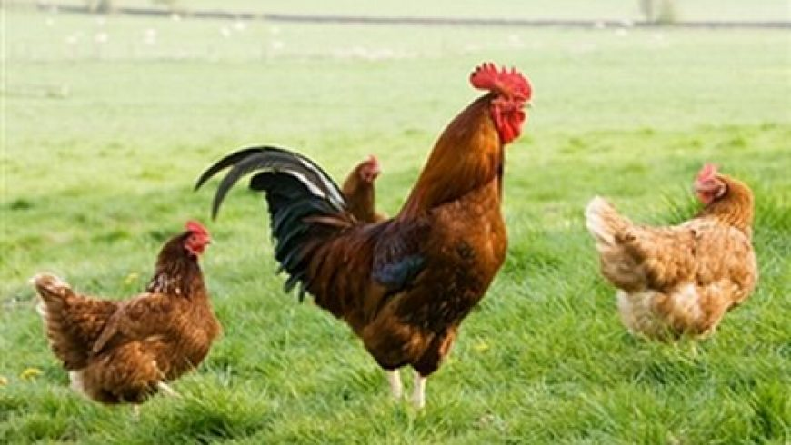 Free-Range Chicken: Grand Slam or Grand Scam?